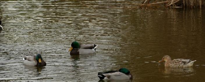 Uccelli acquatici corso ornitologia