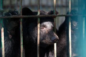 Le GAE come un orso in gabbia